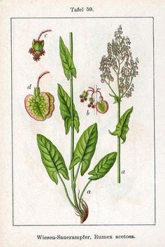Veldzuring - Rumex acetosa -  Common Sorrel, Grande Oseille, Wiesen Sauerampfer