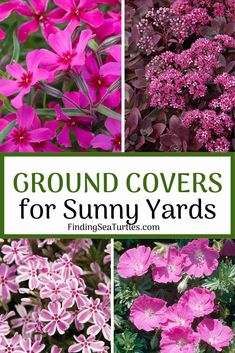 15 Best Flowering Ground Covers for Sun - Finding Sea Turtles Sloped Garden, Ground Cover, Plants, Full Sun Ground Cover, Pink Perennials, Sun Garden, Garden Problems, Flowering Ground Cover Perennials, Perennials