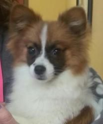Tilly is an adoptable Papillon Dog in Overland Park, KS. Tilly is a 6 month old female papillon / pomeranian mix. She weighs 5 lbs. Tilly is a very friendly, playful puppy. She gets along great with o...