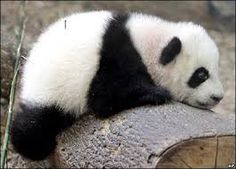 urso panda - Pesquisa Google