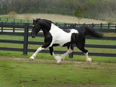 Bizkit is a 2001, 87.5% friesian and 12.5% warmblood, Baroque Pinto Stallion. Bizkit's breed is commonly called baroque pinto, friesian pinto, pinto friesian, and barock pinto. This combination of Friesian and Warmblood is producing beautiful baroque type pintos. Bizkit was imported to the United States from Germany, January of 2011. He arrived at Dream Gait in February 2011. Bizkit is ECHA registered in Germany.