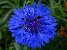 Blue Cornflower - International Flower of Hope for ALS and MND (Motor Neuron Diseases)