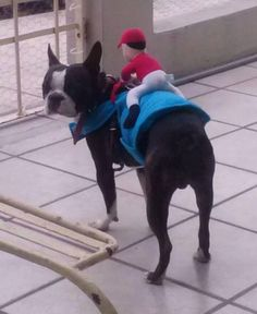 Horse Racing Costume of a Boston Terrier named Norman from Mexico