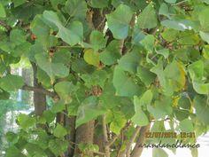 elarbolmiamigo-encinarosa: Erythrina caffra  /  Árbol coral  /  Ceibo con pin...