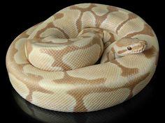 Zebra bee morph ball python Snakes, Frogs, Turtles, et