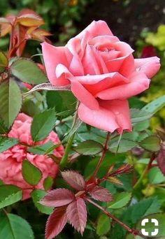 Pink rose ☺️