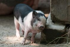 Keeping Potbellied Pigs