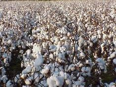 [Visit to Buy] 100 Seeds/Lot New Seeds White Cotton Seeds crops, flower seeds easy to grow DIY Home Garden Plant seeds Backyard Garden Landscape, Home Garden Plants, Home And Garden, Garden Landscaping, Districts Of Panem, Cotton Plant, Colorful Plants, Annual Plants, Flower Seeds