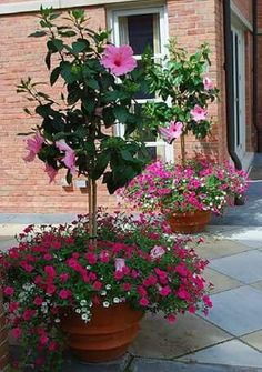 This fuchsia petunia is also from the Vista series.Though the pink hibiscus standards are the star of the show, the small petunias add lots of texture and volume.The hibiscus trees are weighted visuallyat the bottom. - My Garden Muse Container Flowers, Container Plants, Container Gardening, Gardening Vegetables, Hibiscus Tree, Hibiscus Flowers, Hibiscus Plant, Hibiscus Garden, Lawn And Garden