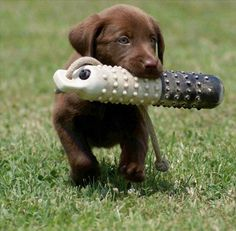 Gorgeous Brown Labrador Puppy with his toy on a rope retrieved