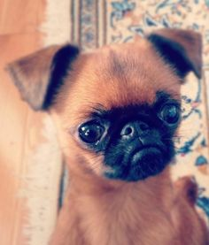 Crumpet the smooth-coat Brussels Griffon - they have a bunch of really cute & funny pictures of him too.