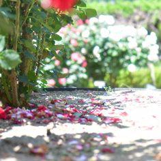#薔薇#バラ#ばら#薔薇公園 #やっぱり薔薇がすき #薔薇の家#花の写真館  #はなまっぷ #花のある暮らし #薔薇のある暮らし #イングリッシュガーデン #花 #カメラ女子 #カメラ好きな人と繋がりたい #海賊フォト #せとうち倶楽部 #キタムラ写真投稿 #マクロ #rose#rosegarden #nikon倶楽部 #nikond500 #loves_nippon #LOVES_GARDEN #instagood #ig_flowers #flowerslovers#macro #flowerstagram#floralphotography http://gelinshop.com/ipost/1517947498747744223/?code=BUQ1TUqjU_f