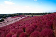 Hitachi Seaside Park in Hitachinaka, Ibaraki, Japan | 27 Surreal Places To Visit Before You Die