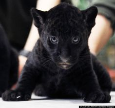 Black Panther Cubs | two-month-old Black Panther cub looks on during a presentation in a ...