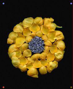 Myosotis scorpioides, Trollius europaeus by Horticultural Art Flower Petals, Flower Art, Dark Backgrounds, Colorful Backgrounds, Black Background Photography, Mellow Yellow, Botanical Art, Creative Photography, Yellow Flowers