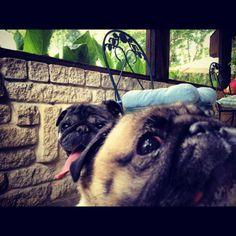 Pug photobomb