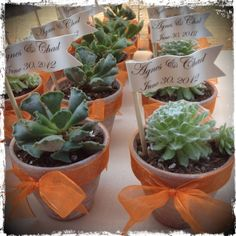 Succulent wedding favors or placeholders in lime wash terracotta pots with orange ribbon.