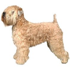 Soft Coated Wheaten Terrier Grooming | Soft Coated Wheaten Terrier Grooming