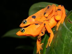 The Panamanian golden frog (Atelopus zeteki) is a rare species of toad to Panama.