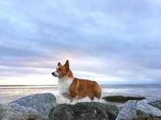 King of the Mountain! Choose your best Corgi stuffs only at Corgilover.guru