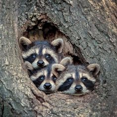 [New] The 10 All-Time Best Ideas Today (with Pictures) - with with Besides that can be really annoying they also look incredibly cute. Whats your best Raccoon related story? Wed love to hear them. Nature Animals, Animals And Pets, Wildlife Nature, Cute Baby Animals, Funny Animals, Clever Animals, Funny Cats, Animal Pictures, Cute Pictures