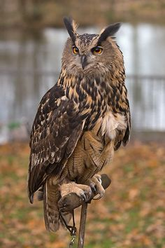 owl photos | Eagle Owl - Our Birds - Turbary Woods