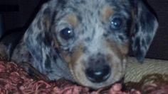 my baby dapple dillion