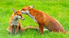 PLEASE SIGN THE PETITION TO KEEP THE BAN ON FOX HUNTING.  · David Cameron MP: Keep the Ban on Fox Hunting · Change.org PLEASE RE-PIN. THANK YOU
