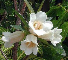 Rothmannia globosa – September bells – Vals | Sun Trees