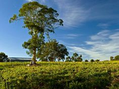 Australiens Weinindustrie jubelt den Jahrgang 2017 herbei
