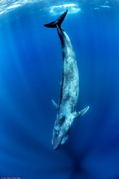 Having a whale of a time: The beautiful images show the whale plunging into the deepest depths of the clear blue sea