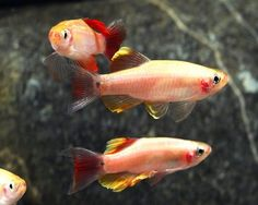 These are color variants of White Cloud Mountain minnows. They are more tolerant of cooler water temperatures than many other tropical fish. They are hardy and would make great beginner fish.