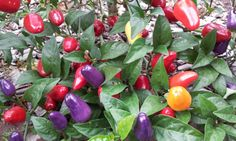 Capsicum frutescens 'Loco' - multi-colored pepper.