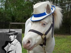 Blue Fedora Hat for Ponies or Miniature Horses Horse Costumes, Girl Costumes, James Bond Tuxedo, White Fedora Hat, Horse Wedding, Miniature Horses, How To Look Handsome, Ponies, Black Cotton