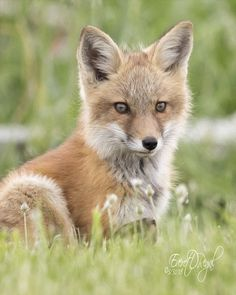 Red Fox by Everet Regal on 500px
