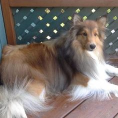 Sweet Sheltie