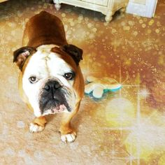 bulldogs love Instagram filters that are all sparkly and shit
