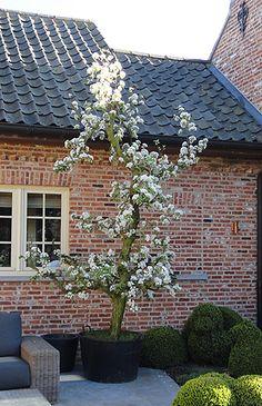 oude perenboom in voortuin
