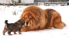 There are two types of Tibetan Mastiffs to choose from Do-Khyi and Tsang-Khyi. If you want to know which of the two dog breeds is better, then read this article about them. Giant Dog Breeds, Giant Dogs, Large Dog Breeds, Tibetan Dog Breeds, Tibetan Mastiff Dog, Mastiff Breeds, Mastiff Dogs, Dogue Du Tibet, Chihuahua