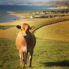 #Day26 of #100HappyDays – of #Faberystwyth: One of the University's Cows overlooking the town =============== #Diwrnod26 of #100DiwrnodHapus - #Ffaberystwyth: Un o wartheg y Brifysgol yn edrych am y dref #aberystwyth #wales #cow #farm #sea #view