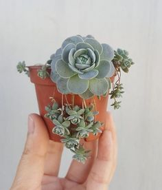 "10.6k Likes, 116 Comments - Succulents & Cacti (@leafandclay) on Instagram: ""The perfect little trailing bebes #leafandclay #succulents #chineseduncecap (: @_momochichak_ )"""