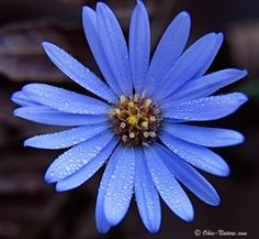 Blue aster the flowers i want!