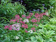 Primula japonica behind hosta