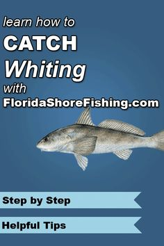 1000 images about fishing on pinterest saltwater for Whiting fish florida