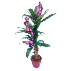 Violet tree - Novillos Brand