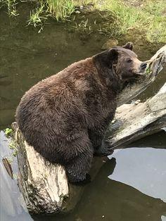 Cute Wild Animals, Funny Animals, Brown Bears, We Bear, Wild Creatures, Mans Best Friend, Animal Kingdom, Mammals, Lions