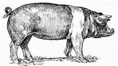 vintage pig drawings - - Yahoo Image Search Results