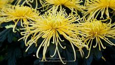 chrysanthemum spider - Google Search
