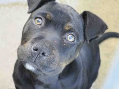 URGENT--COCO Pet ID: A1373616 Sex: S Age: 2 Months Color: BL BRINDLE - WHITE Breed: PIT BULL - MIX Kennel: 088-OC Animal Care, Orange, CA