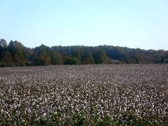 North Carolina cotton field